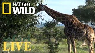 WATCH NOW: Safari Live | Nat Geo WILD by Nat Geo WILD