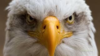 Video 🦅 5 BEST EAGLE ATTACKS CAUGHT ON CAMERA MP3, 3GP, MP4, WEBM, AVI, FLV Januari 2019