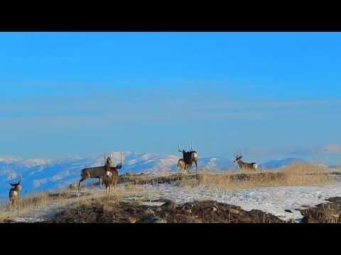 Deer Fight Flight, throws Deer 7' in the air (slo-mo)