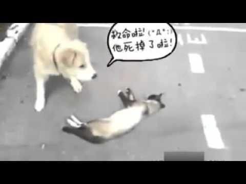 Mèo giả chết để lừa chó