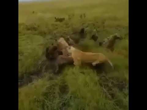 Hyenas Attack Lioness