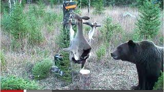 Podłączyli jelenia do napięcia! Uparty Grizzly próbował go ściągnąć :D