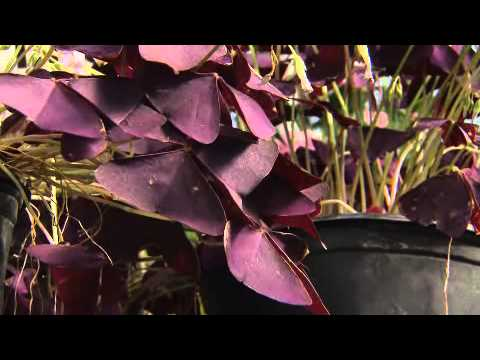 how to transplant purple oxalis