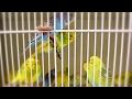 Budgie  Parakeet Sounds  Singing Flock In Pet Store
