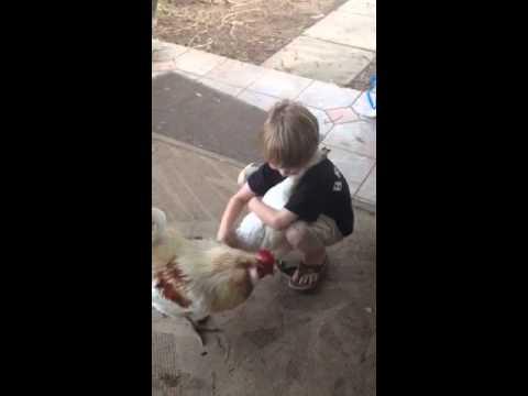 علاقة غريبة بين طفل ودجاجة تغضب الديك