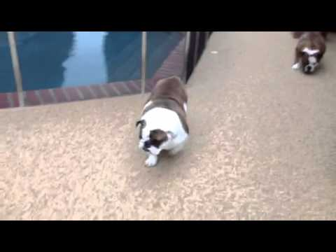 Dr. Kraemer Vet 4 Bulldog - Stem Cell Therapy for Arthritis in Dogs and Cats After Treatment