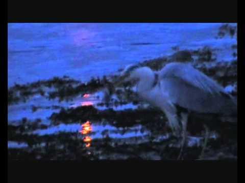 Hegre fanger fisk  i Straumen (видео)