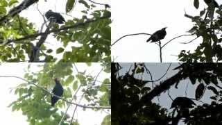 download lagu download musik download mp3 Kicau Burung Langka Beo Liar Suara Unik