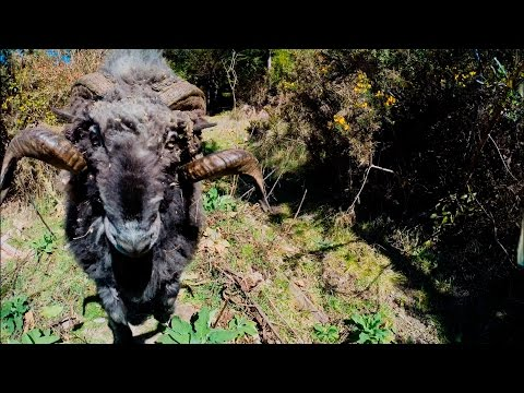 Angry ram takes down a quadcopter drone