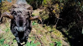 Angry Ram Takes Down Drone