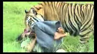 Download Video Porno Manusia vs Harimau bg3.flv MP3 3GP MP4