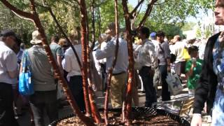 #705 Chelsea Flower Show 2012 - Prunus serrula - Die Mahagoni Kirsche