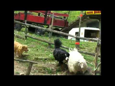 una pecora che si diverte a giocare coi cani!