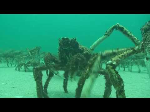 Crab - What a sight, thousands of spider crabs all together for their mid winter moult. It lasts a few weeks and then all goes back to normal until next year. Re ma...