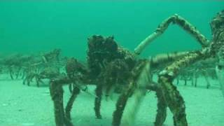 SCUBA Diving Melbourne - Spider Crabs at Rye Pier annual mid winter moult by www.NetBookings.com.au