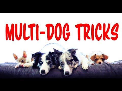 Amazing Multi Dog Tricks