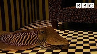 Cuttlefish - Active Camouflage