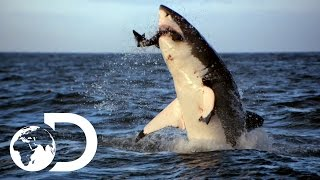 Video Incredible Footage of Sharks Leaping Out the Water MP3, 3GP, MP4, WEBM, AVI, FLV Agustus 2018