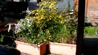 #344 Pflanzidee für Blütensträucher