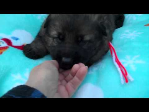 Wolverstones Mr. Candy Cane Lane Black Sable Male Puppy