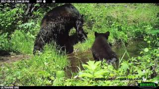 Video Mother Bear and Cub Visit Water Holes (June, 2017) MP3, 3GP, MP4, WEBM, AVI, FLV September 2017