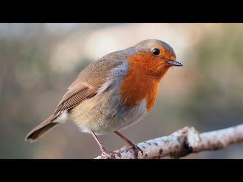 Зорянка или малиновка (American and European robin)