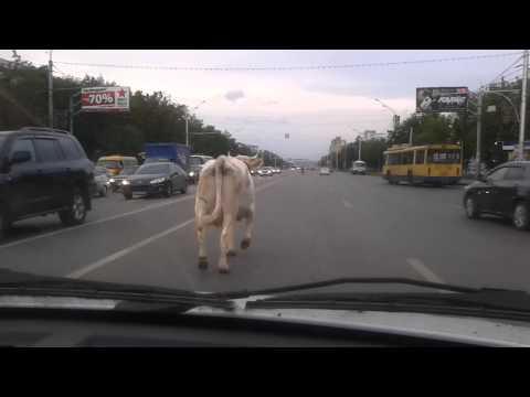 """Корова сбежала с """"Молочной страны"""""""