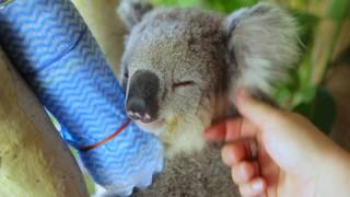 Koalas cool down in Sydneys Heatwave
