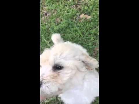 Meet Teddy! Male Standard Poodle