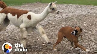 Maggie the Boxer VS Annie the Alpaca | The Dodo by The Dodo