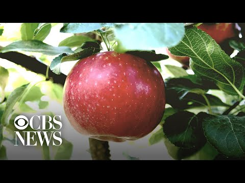 New type of apple lasts in the fridge for a year
