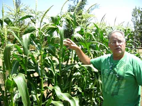 Garden tips - Patrick the Green Gardener explains how you can maximize your corn yield per stalk. This video helps you see what what you can do to improve the quality and ...