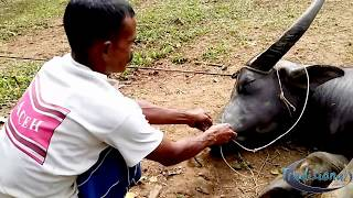 Video Traditional: How to put the bracelet (bridle) on the nose of wild and ferocious buffalo MP3, 3GP, MP4, WEBM, AVI, FLV Agustus 2019