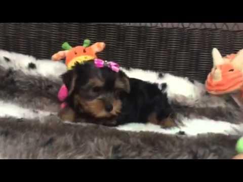 AKC, precious yorkie puppy!