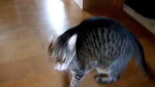 Cat Howling Meowing loudly for attention