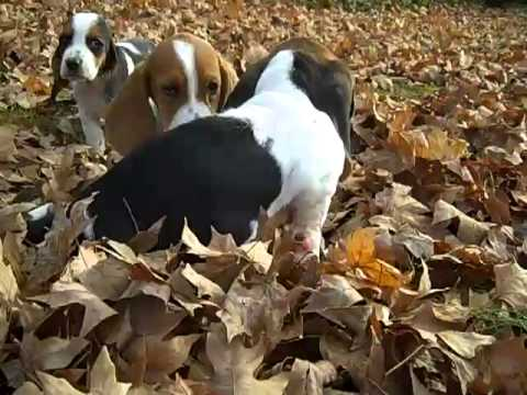 Female Basset Hound Puppy Tri Color 3