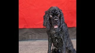 A5090115 Macmillan is a joyous 8-year-old black male Cocker Spaniel who came to the Baldwin Park Animal Care Center as a stray from Baldwin Park on July 17th. Weighing 27 lbs, Macmillan is a volunteer favorite because of his great spirit. He greets volunteers at his kennel door and is ready to go. His happy, stubby little tail wagged throughout his entire time in the yard for his glamour shot and video experience. Macmillan has not had the best luck lately; he is currently being treated for ear infections, and he had to be shaved when he arrived at the shelter because he was very matted. (When his coat grows back in, he is sure to be quite handsome and much more comfortable!) Macmillan also seems to be blind (or have quite limited vision), but this doesn't dampen his confident and cheerful spirit. Macmillan walks okay on leash, has plenty of pep in his step, shows signs of house training, and was not reactive to other dogs. Macmillan will be a rewarding indoor pet and companion for an individual or family looking to adopt a senior dog to provide him with a forever home in which to spend his golden years. For more information on this pet, contact volunteer UHA adoption coordinator Kristin at 626-393-6258 or kristin@hope4animals.org.United Hope for Animals is not a facility. To CHECK THE STATUS of this animal, contact the BALDWIN PARK SHELTER in person, by phone or on their website:Address: 4275 Elton St, Baldwin Park, CA 91706Phone: (626) 962-3577Website: http://1.usa.gov/1oB6G0pIf you end up adopting this animal, please give a shout out to #unitedhopeforanimals @UnitedHope on social media,  leave a comment here as a thank you to our Volunteers, or donate to UHA at http://unitedhope4animals/donate. Thank you for looking! Please SHARE this animal if you are unable to adopt. United Hope for Animals links:ADOPTABLE PETS: http://goo.gl/gY1ReUFACEBOOK: https://www.facebook.com/UnitedHopeTWITTER: https://twitter.com/UHope4AnimalsINSTAGRAM: http://instagram.com/unitedhopefo