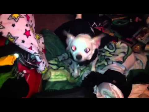 Chihuahua Receives an Unwanted Christmas Present!