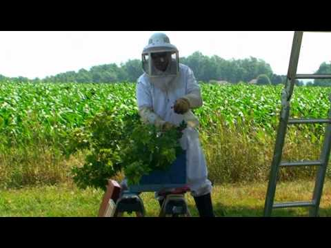How to capture and hive a swarm of honey bees