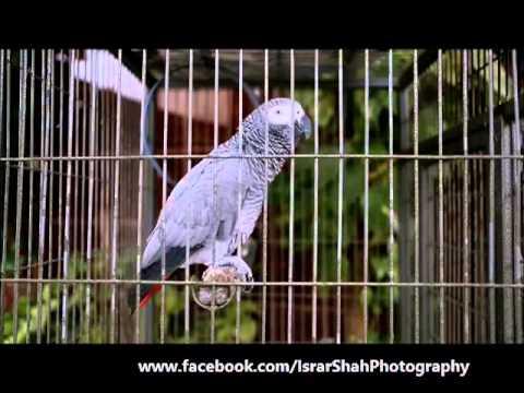 Talking African Congo Gray Parrot – Urdu & Pashto