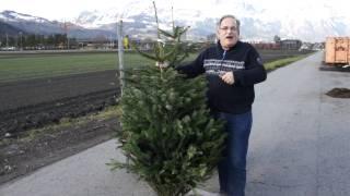#546 Pflegetipps für Weihnachtsbäume