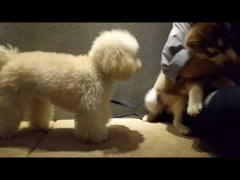 Poodle and Husky fight - Part 1 (видео)