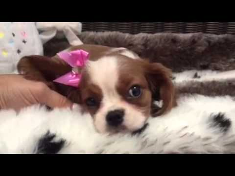 Beautiful, Doe Eyed, Female Cavalier!
