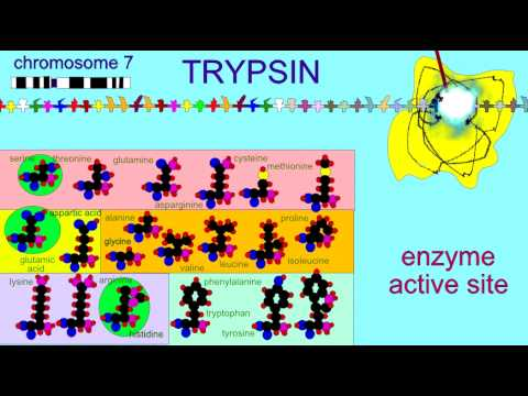 DIGESTIVE ENZMES: TRYPSIN 1