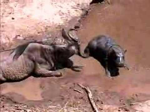 Baby Hippo & Wildebeest - Great Migration Tanzania/Kenya