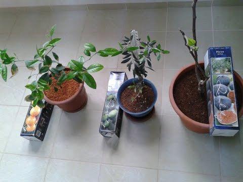 Как выращивать оливки в домашних условиях