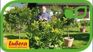 Wie lange dürfen Zitruspflanzen im Herbst draussen bleiben?