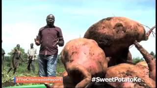 The Chamwada Report 8th May 2016 [PROMO] Sweet Potato Farming In Kenya