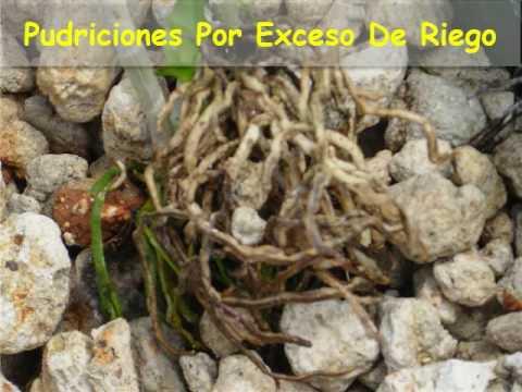 Errores en el cuidado de las orquideas: El riego excesivo