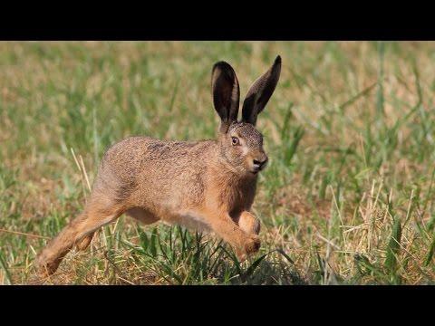 Le rut du lièvre brun